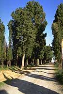 Foto di filari di cipressi